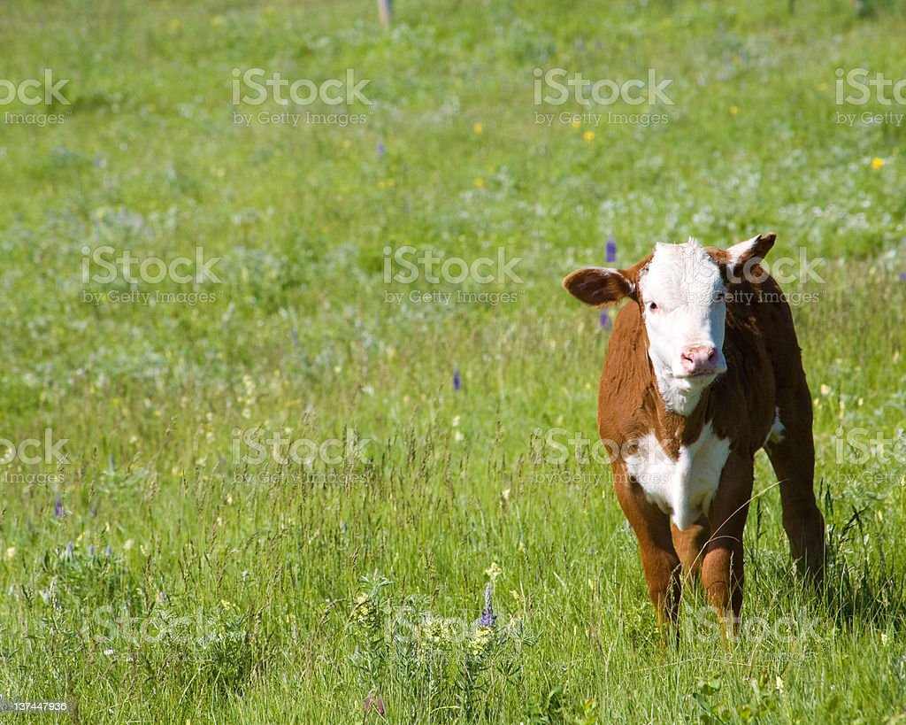 Hereford Calf royalty-free stock photo