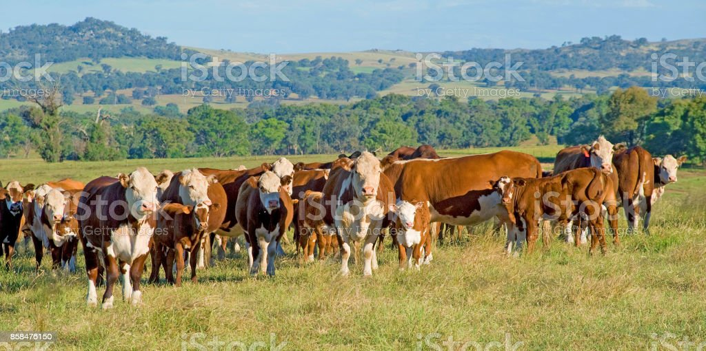 Hereford cattle, a panorama of hereford cattle in Australia. stock photo