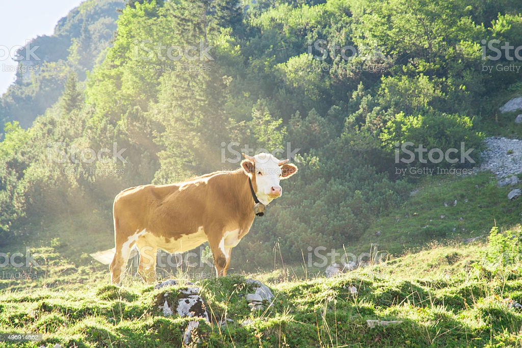 Hereford cattle beef breed cow grazing on Alpine mountains slope stock photo