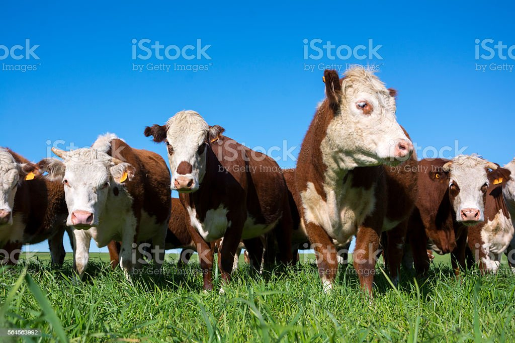 Hereford cattle stock photo