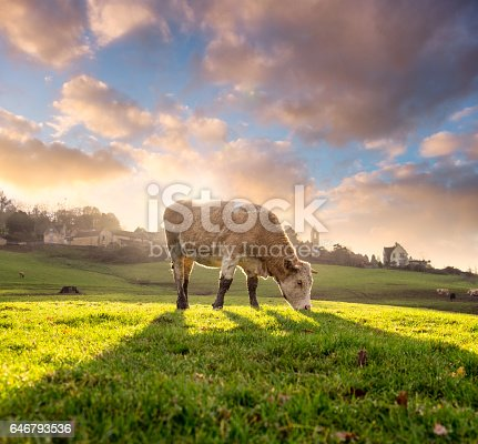 A Hereford cow back lit by the sunset.