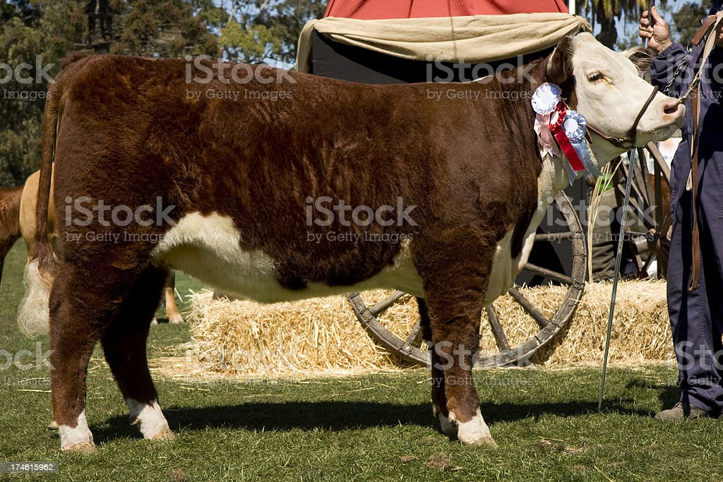hereford champion royalty-free stock photo