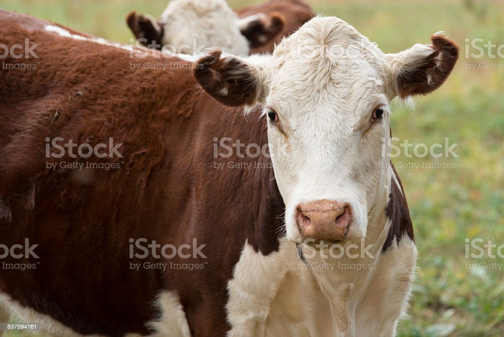 Hereford cow stock photo