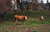 Hereford cow with calf graze in pasture near farmhouse, autumn day in village