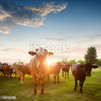 Herd of Hereford cows in a pasture at sunset.