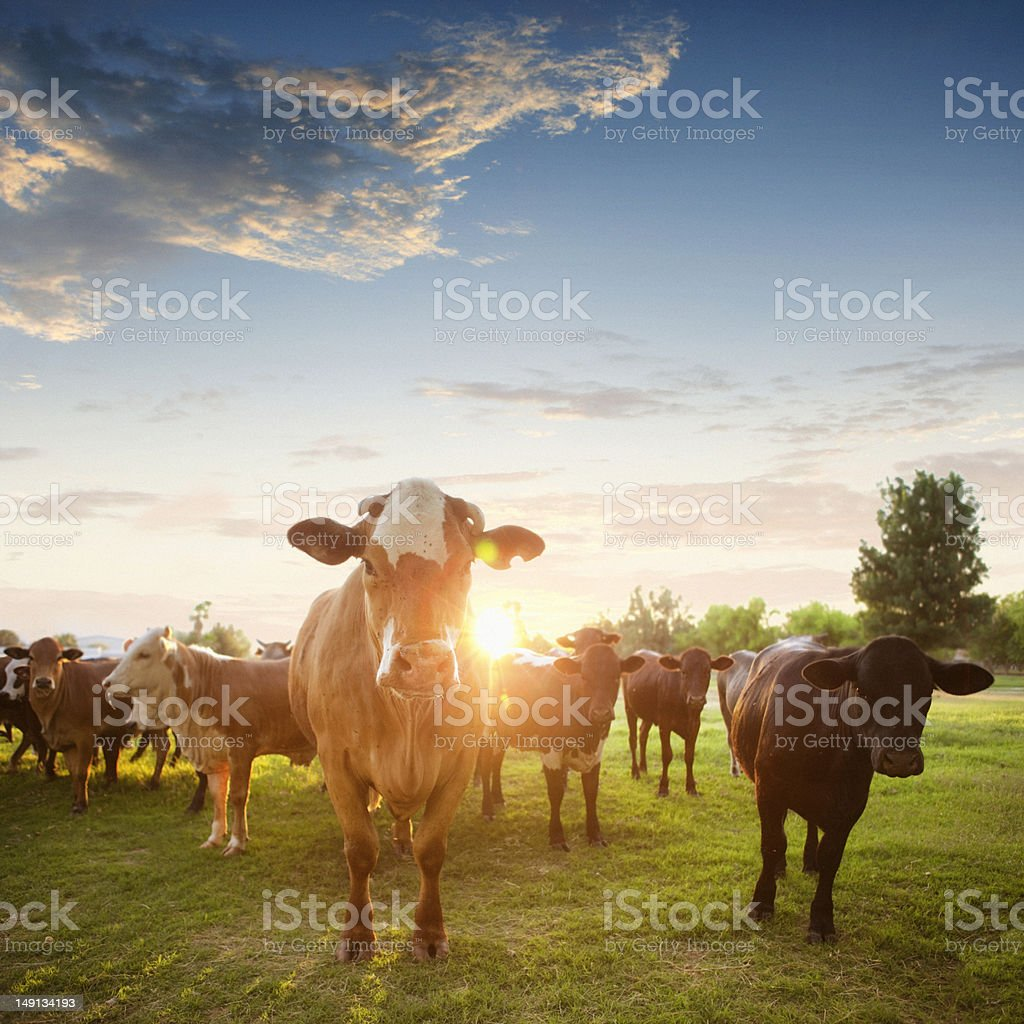 Hereford vacas em Pasture ao pôr-do-sol - foto de acervo