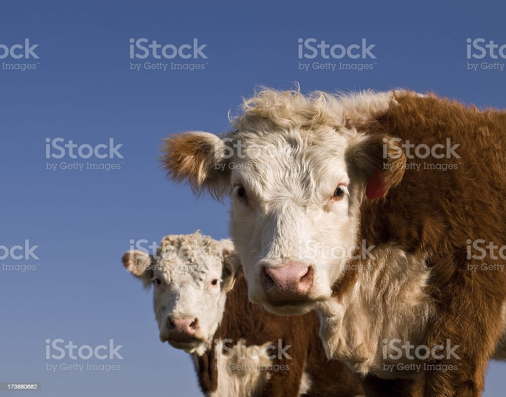 Hereford Cows Looking at Camera With Blue Sky royalty-free stock photo