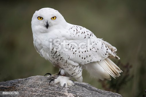 Snowy Owl patiently gazing at the camera
