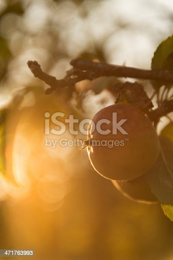 505840263istockphoto Heritage Apples in Orchard 471763993