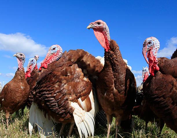 heritage turkey - frigående bildbanksfoton och bilder