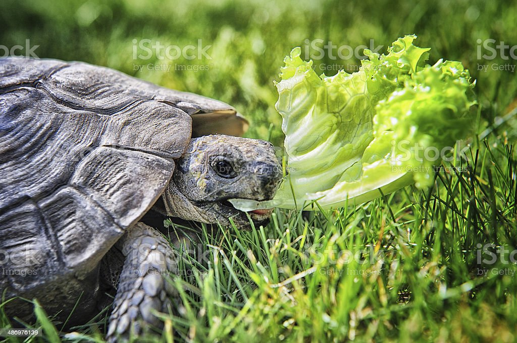 Hermann turtle royalty-free stock photo