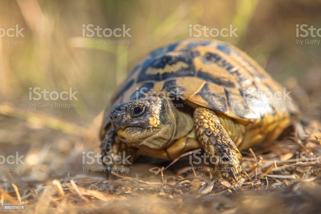Hermann's tortoise (Testudo hermanni) are tortoises from southern Europe stock photo