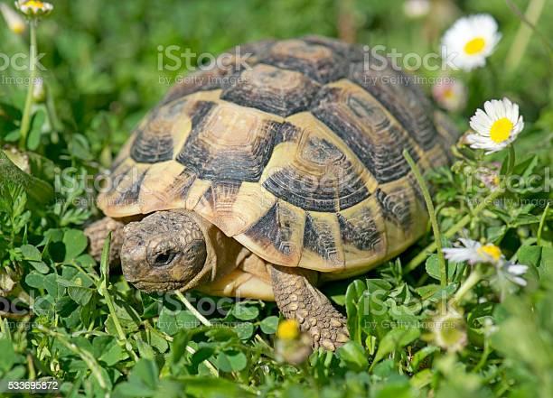 Hermanns tortoise in grass picture id533695872?b=1&k=6&m=533695872&s=612x612&h=p6nmq 2klv5fi706 lhdr73cckyz8e2 boghumsxzx8=