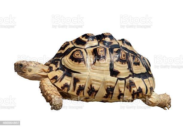 Hermanns tortoise picture id466964852?b=1&k=6&m=466964852&s=612x612&h= eoceojou8dbwu zcvsbe4oqptg3paibzokvdrcuc6q=