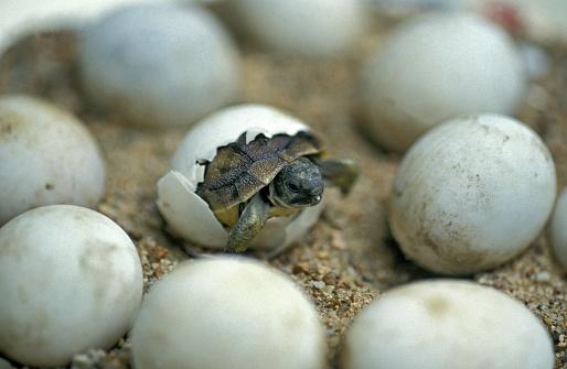 Hermann's Tortoise, testudo hermanni, Baby Hatching from Egg