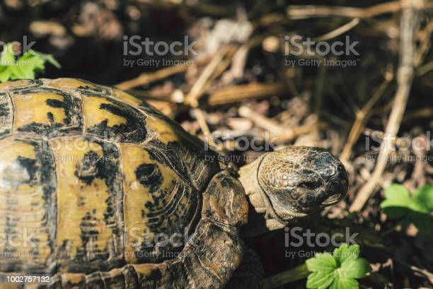 Hermanns turtle close up picture id1002757132?b=1&k=6&m=1002757132&s=612x612&h= petazpspvvsohaclamrsmqqce9tnae filoijjg3r8=