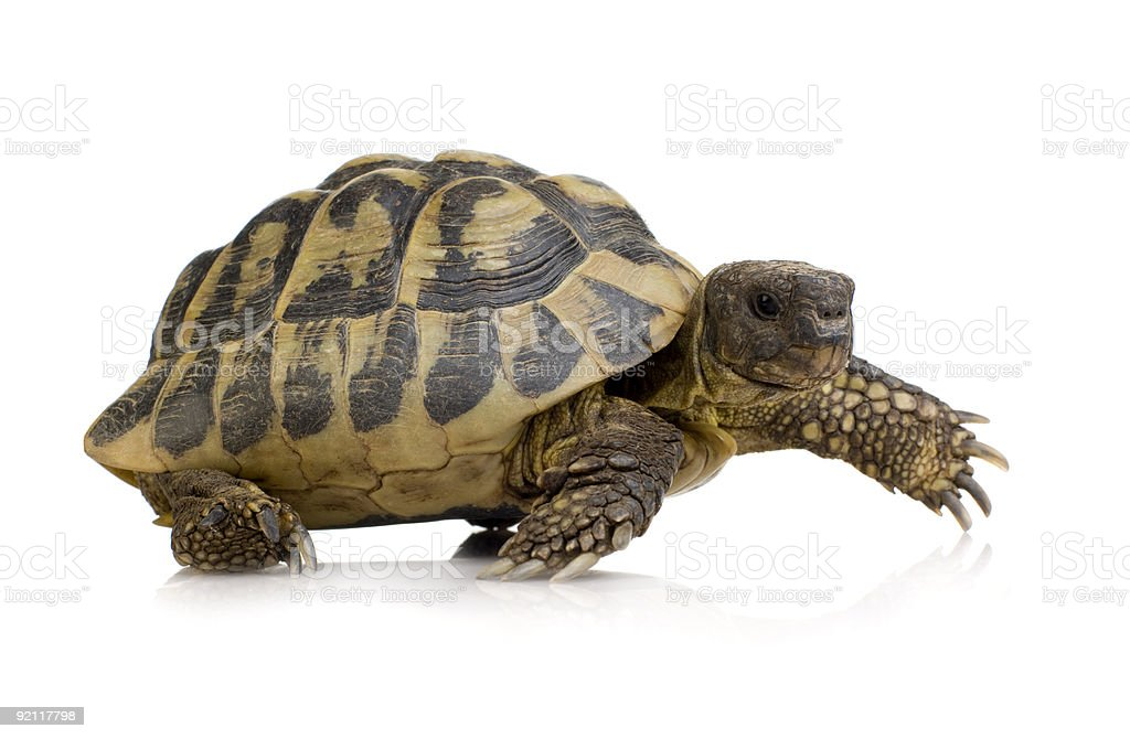 Herman's Tortoise - Testudo hermanni stock photo