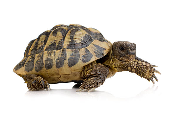 Herman's Tortoise - Testudo hermanni Herman's Tortoise - Testudo hermanni in front of a white background. slow motion stock pictures, royalty-free photos & images