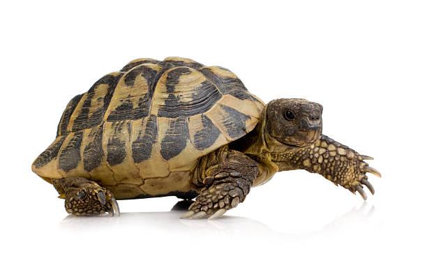 Herman's Tortoise - Testudo hermanni Herman's Tortoise - Testudo hermanni in front of a white background. caenorhabditis elegans stock pictures, royalty-free photos & images