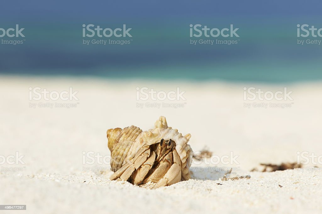 Hermit crab at beach royalty-free stock photo