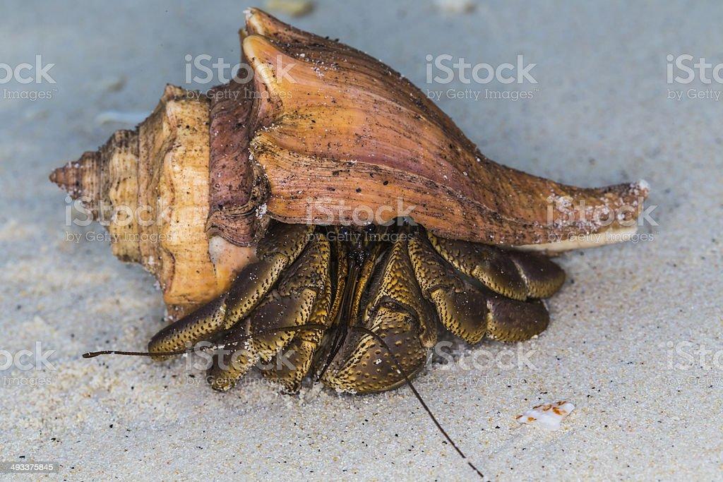Hermit Crab at Surin national park royalty-free stock photo