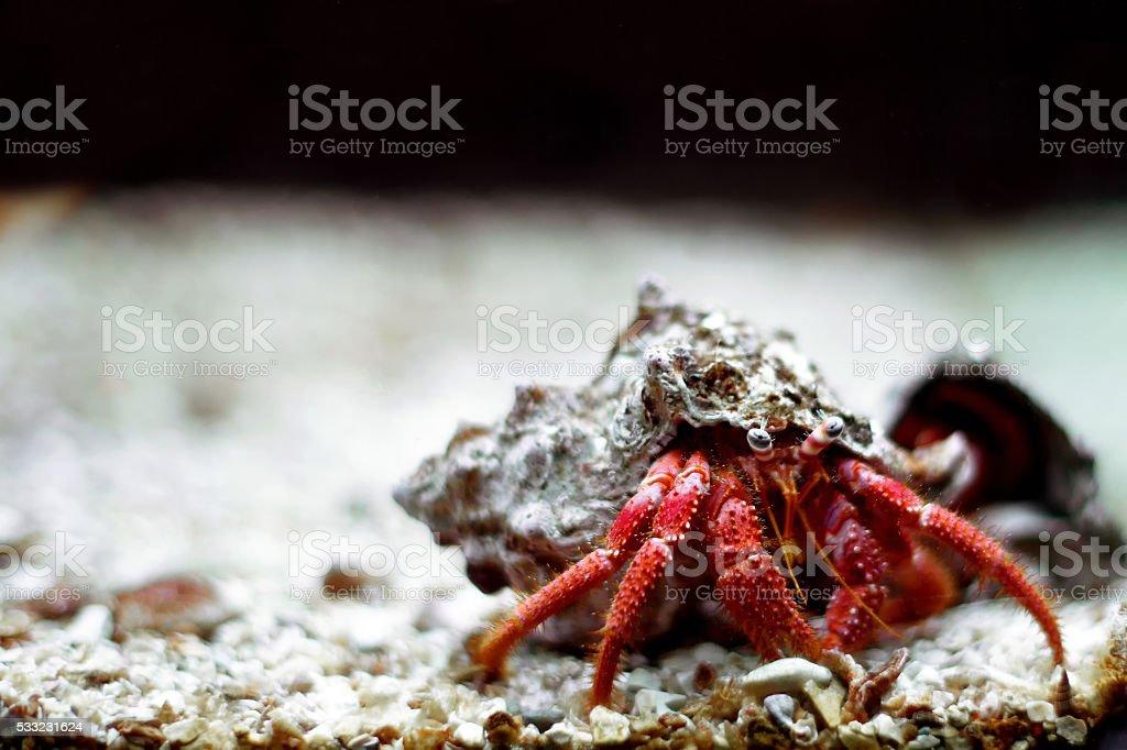 Hermit crab close up stock photo