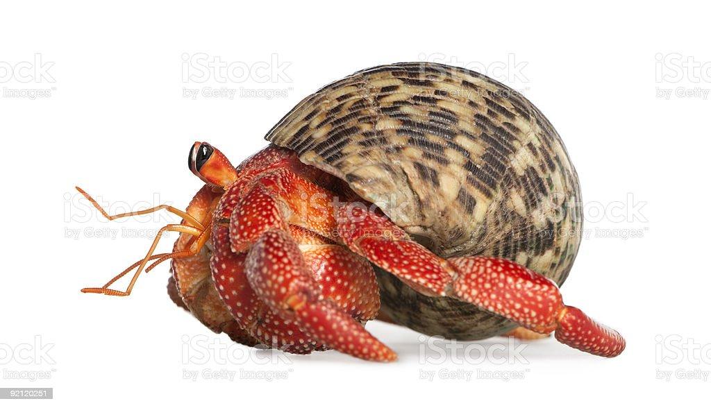 Hermit crab - Coenobita perlatus stock photo
