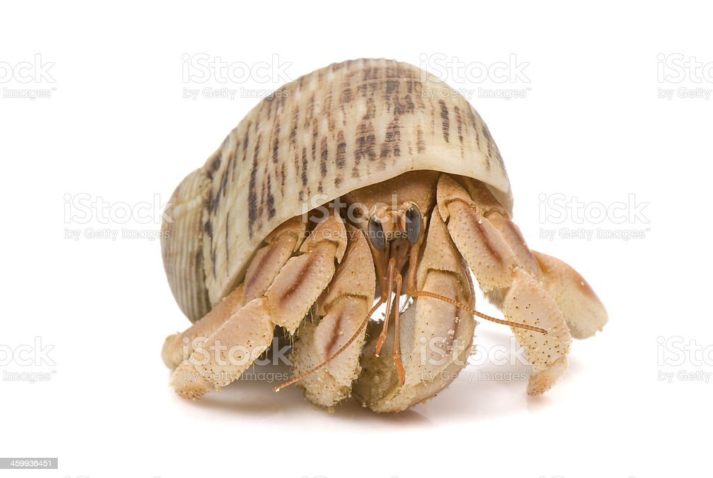 Hermit Crab crawling, isolated on a white background stock photo