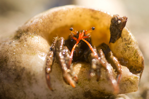 A hermit crab emerging from its shell in Marazion, England, United Kingdom