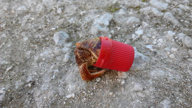 Hermit crab forced to live in a plastic bottle cap stock photo