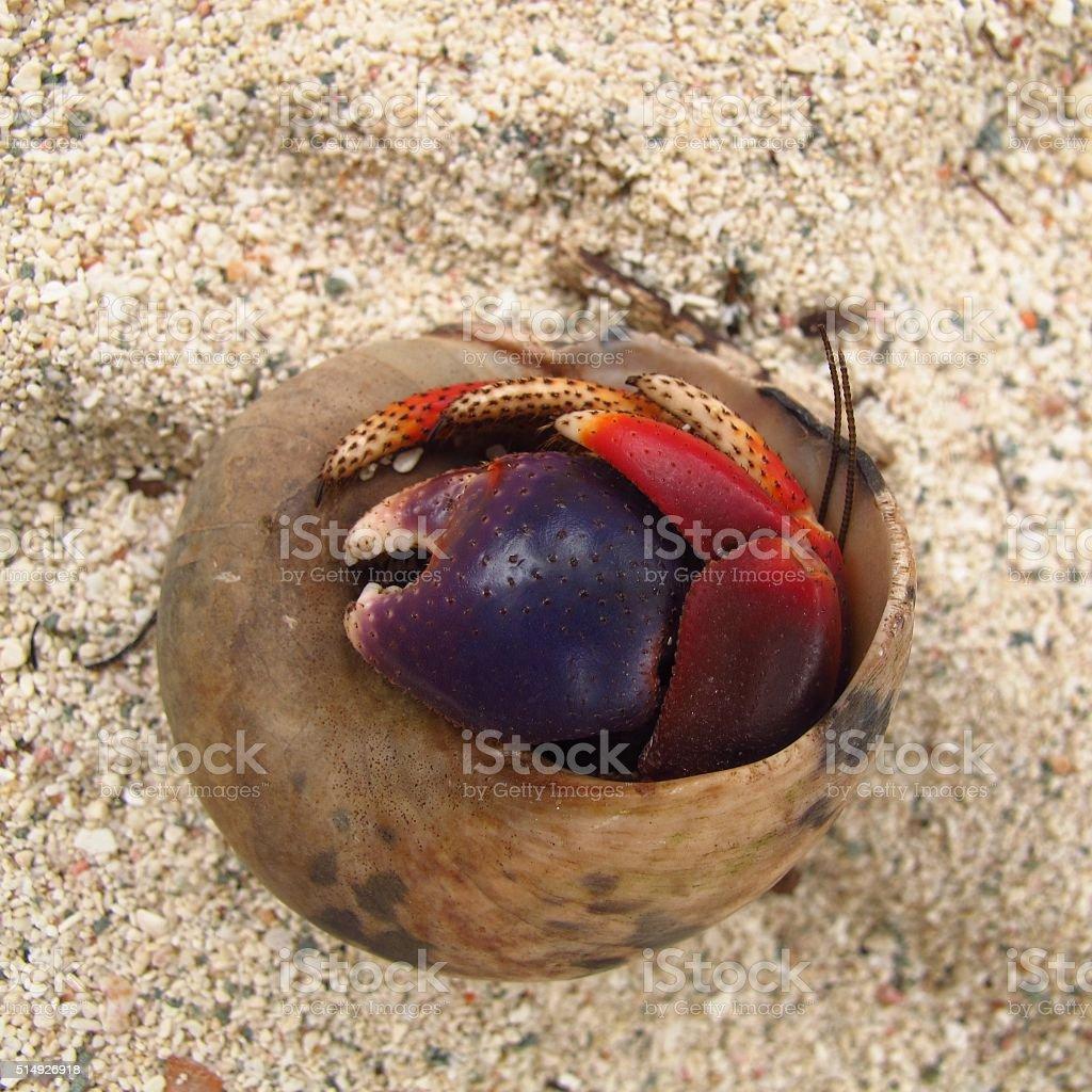 hermit crab in shell on beach shy alone grumpy solitude stock photo