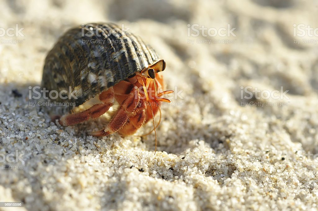 Hermit Crab on a beach royalty-free stock photo