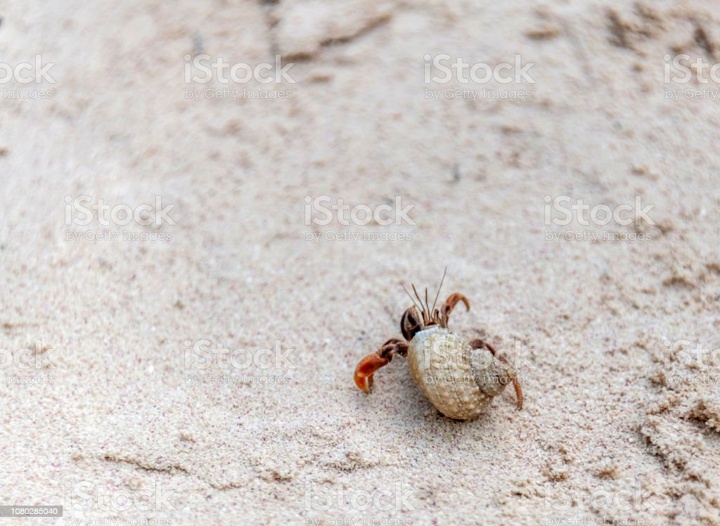 Hermit crab on a sandy Caribbean beach stock photo