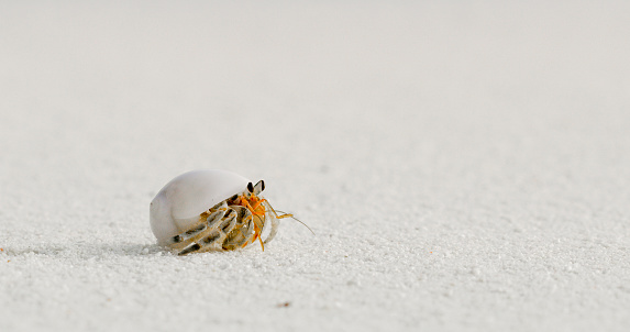 Nature photograph with a close-upof a hermit crab in a shell on a sandy beach,Maldives
