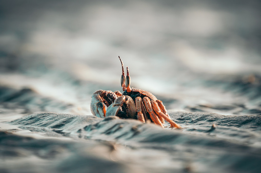 Small Crab walking with his shell