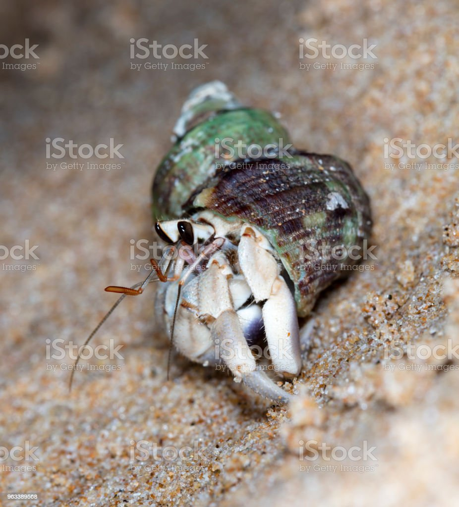 hermit crab on the beach - Zbiór zdjęć royalty-free (Bezkręgowce)