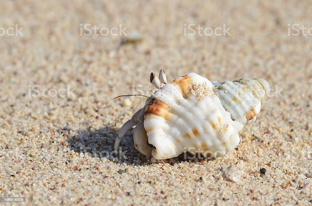 Hermit crab on wet sand on the bank of the Arabian Sea royalty-free stock photo