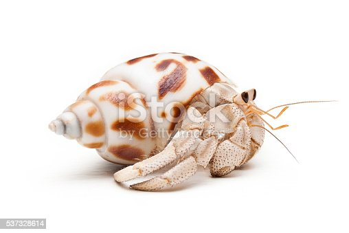 Land hermit crab (Coenobita variabilis) in mottled white and brown shell walking on white background. Photographed at eye level with crab side on walking to the right of frame.