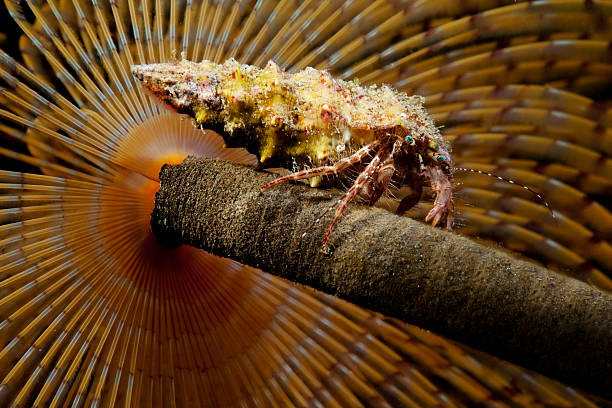 Hermit Crab a small hermit crab climbed on top of a marine worm bristle worm stock pictures, royalty-free photos & images