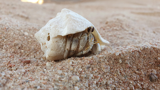 Hermit Crab with a shoody shell