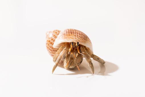 Hermit crab walking