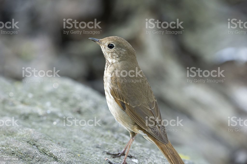 Hermit thrush: Catharus guttatus stock photo