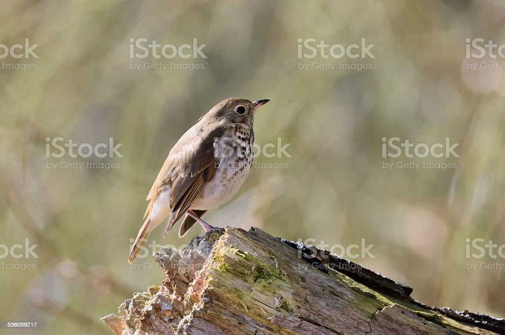 Hermit Thrush On A Stump stock photo