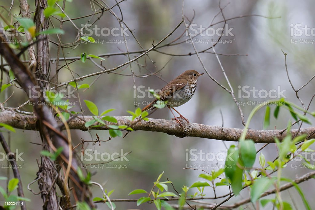 Hermit Thrush (Catharus guttatus) stock photo