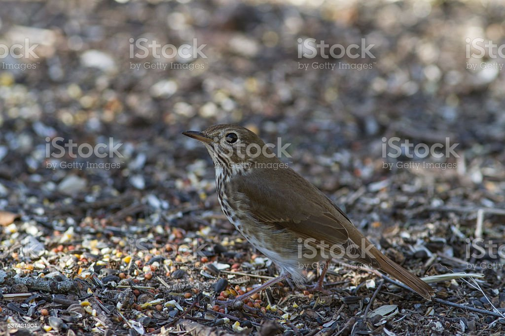 Hermit Thrush stock photo