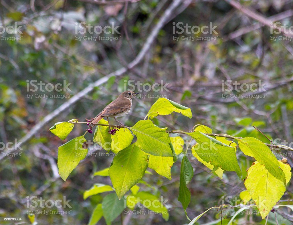 Hermit thrush, sitting on passion bush. stock photo
