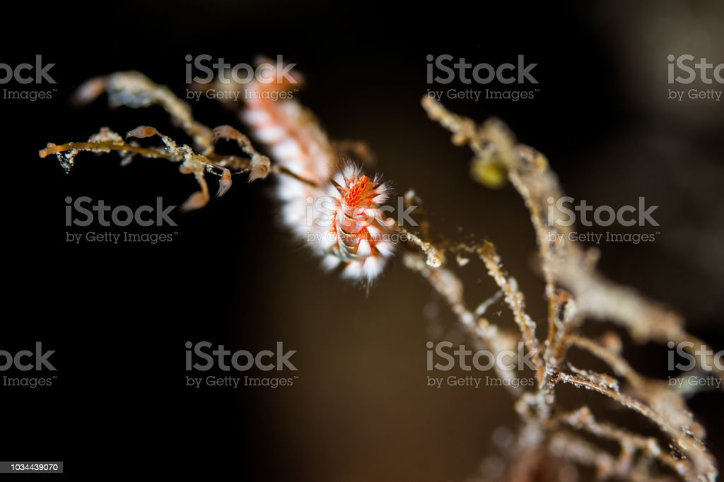 Hermodice carunculata the bearded fireworm stock photo