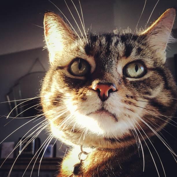 Heroic looking tabby cat stock photo