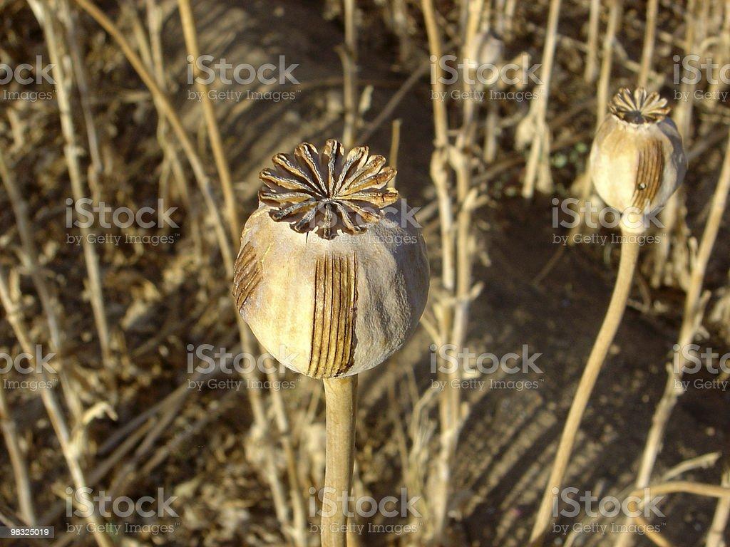 heroin poppy royalty-free stock photo