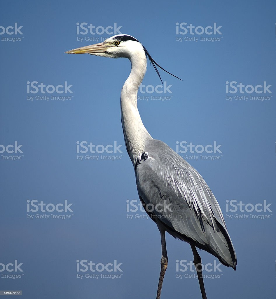 Heron against blue sky. royalty-free stock photo